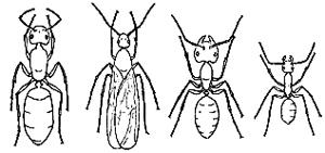 Carpenter Ants vary in size and type