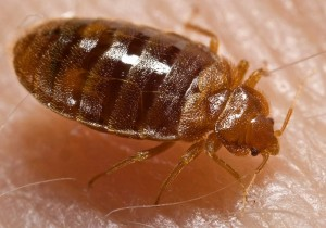 Bed Bug on Skin (Click to Enlarge)