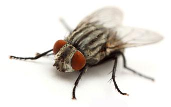 cluster fly muskoka pest control